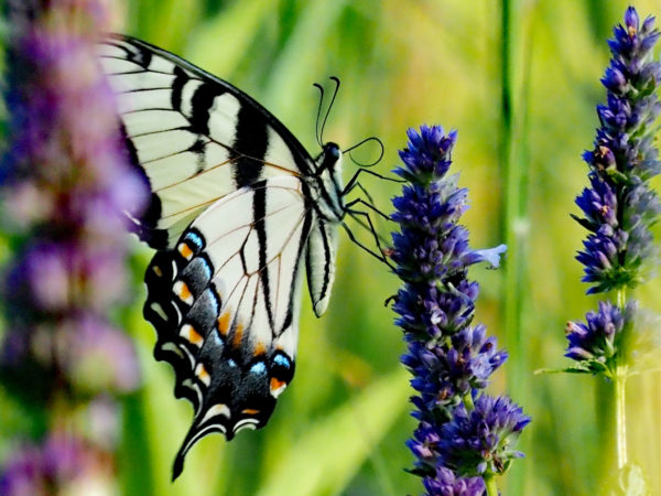 Eastern Tiger Swallowtail on Hyssop