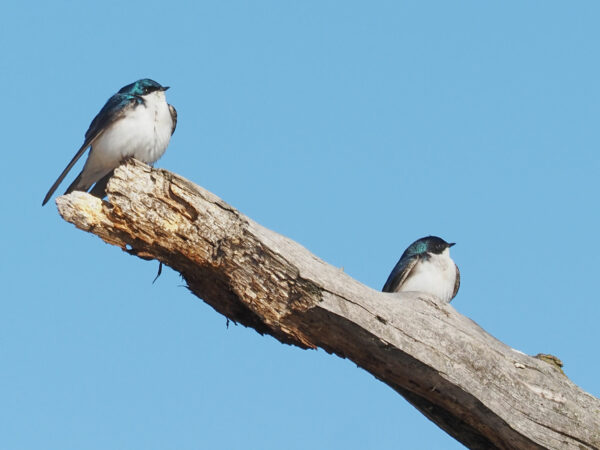 Tree swallows in synch A