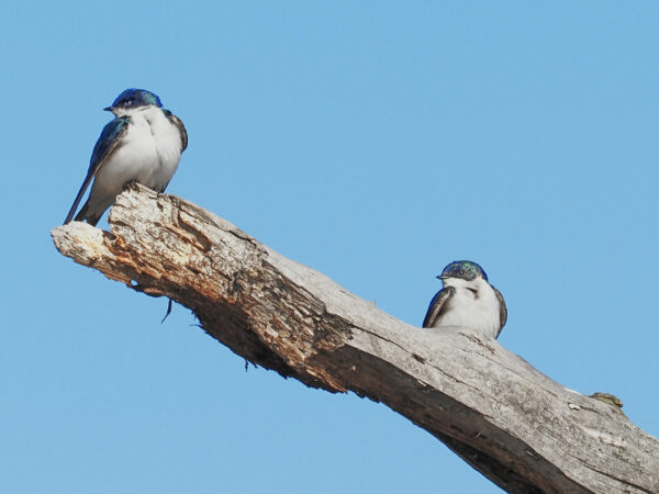 Tree swallows in synch B