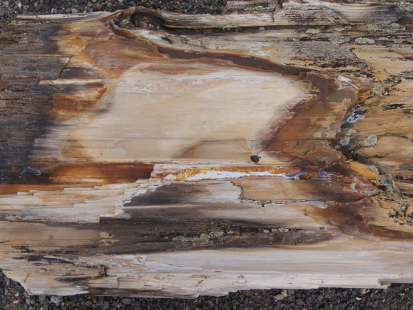 Surface of Petrified Tree Trunk