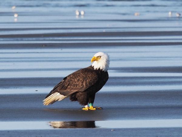 Ocean Shores Eagle N/K